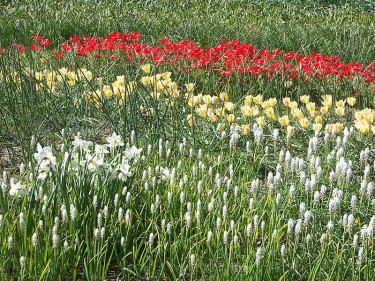 **Pärlfyacinter**, **poetnarcisser**, **botaniska tulpaner** med flera. Foto: Bernt Svensson
