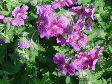**Kungsnäva**, _Geranium x magnificum_ 'Rosemore'.  Foto: Sylvia Svensson
