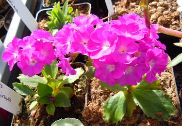 _Primula hirsuta_. Foto: Sylvia Svensson