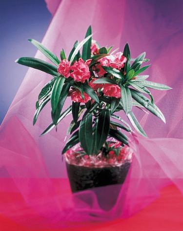 Oleander, _Nerium oleander_.