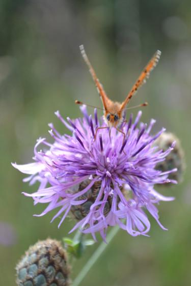 Fjärilar tycker om blommor rika på nektar.  Foto: Blomsterfrämjandet