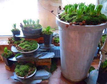 Mossarrangemang med hyacinter - så länge det inte är många minusgraderFoto: Sylvia Svensson