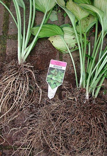 Man kan dela och omplantera vissa perenner nu.Foto: Sylvia Svensson