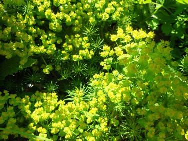 _Euphorbia cyparissias_, vårtörel. Foto: Sylvia Svensson
