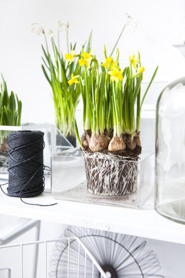 Det är vackert att ha lökväxterna i glasvaser eller glaskrukor. Foto: Blomsterfrämjandet