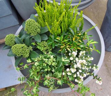 _Calluna vulgaris_ 'Zeta', vit bärljung, murgröna, vinterbär och benved.  Foto och arr: Sylvia Svensson
