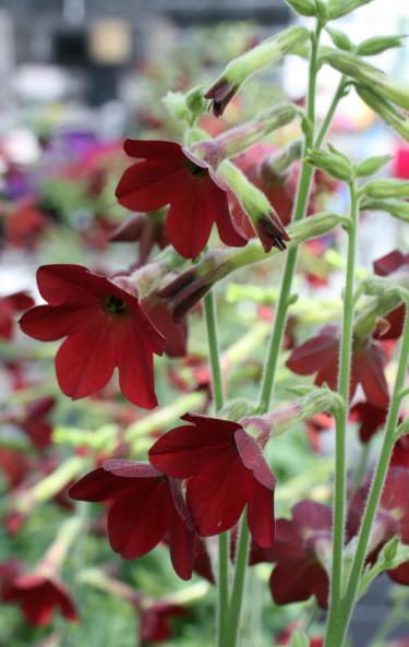 Blomstertobak. Foto:Blomsterfrämjandet/Hörnhems Handelsträdgård AB