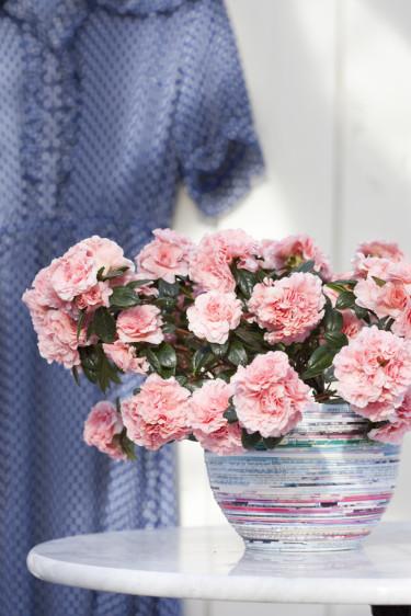 Vårazalean AIKO pryder sin plats väl. Foto: Blomsterfrämjandet/Anna Skoog