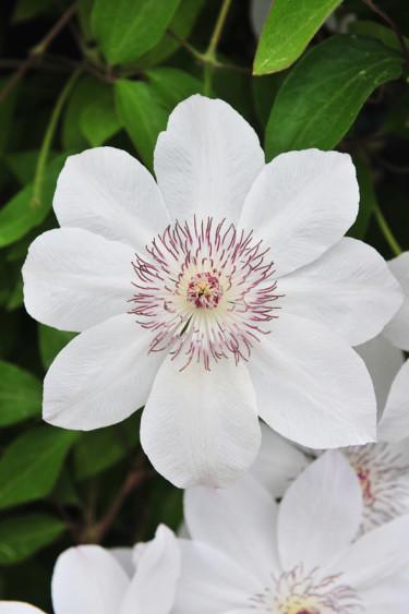 Klematis 'Matka Urszula Ledochowska' får vackra, vita blommor med gröna strimmor. Blommar tidigt, i maj/juni-juli. Höjd ca 2-3 m. Härdig i zon 1-4.