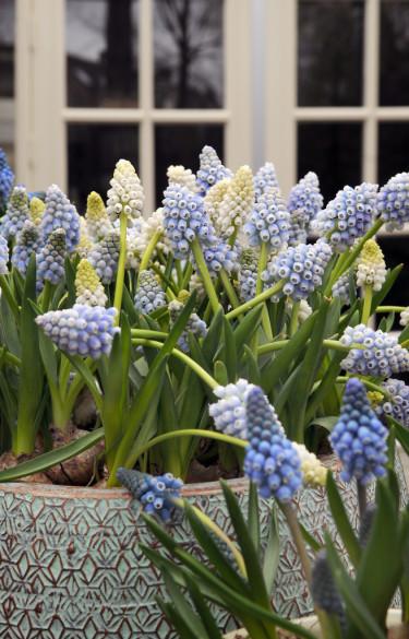 Blå och vita pärlhyacinter, _Muscari_, är vackra tillsammans.  Foto: Blomsterfrämjandet