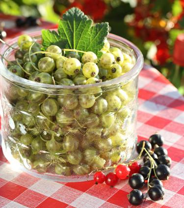 Ribes 'Vertti' i burk, med röda och svarta vinbär. Foto: Leena Hokka