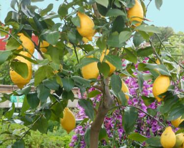 Citronträd. Foto: Sylvia Svensson