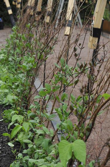 Klätterväxterna är på gång Foto: Bernt Svensson