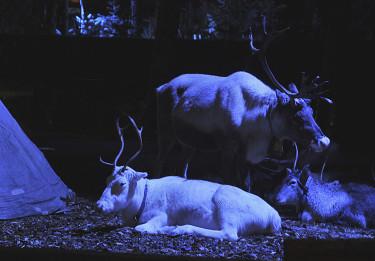 Vita och bruna renar i magiskt ljus. Foto: Bernt Svensson