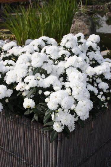 Mystery Lady ® 'Jessica' är krispigt vit. Foto: Floradania