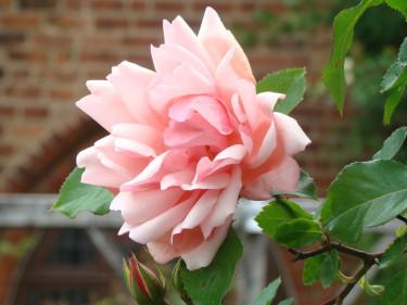 Friska, vackra rosor önskar vi oss! Här klätterrosen 'Albertine'.