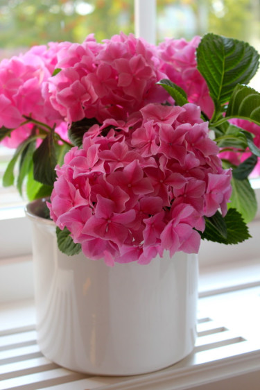Rosa hortensia i fönstret Foto: Blomsterfrämjandet