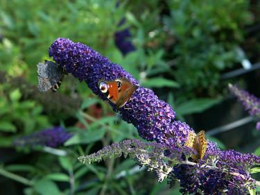 Fjärilar på nektarfyllda buddlejan. Foto: Sylvia Svensson