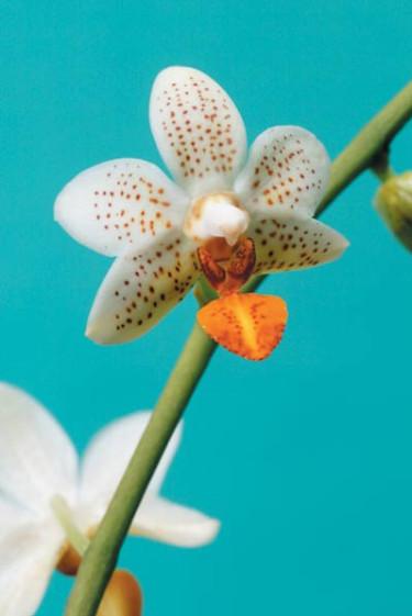 Brudorkidé, Phalaenopsis-hybrider. Foto: Thomas Södergren.