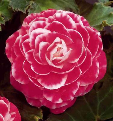 Begonia x tuberhybrida 'Camellia'