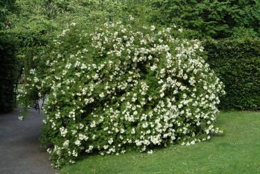 Honungsros 'Hybrida' friväxande som buske. Foto: Lars Forslin