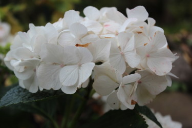 Vit Forever&Ever hortensia här i zon 3 i oktober / Foto: Anna Theorin