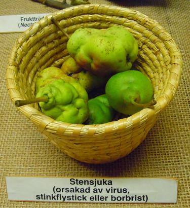 Stensjuka på päron. Foto: Sylvia Svensson