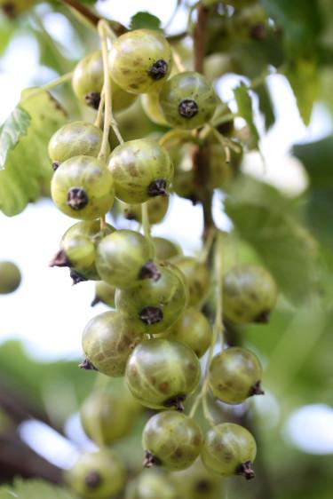 Gröna vinbär 'Vertti'.Foto: Leena Hokka