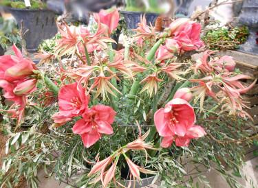 En magnifik amaryllisurna med sorterna 'Marenque' (flikig) och 'Candy Floss'.  Foto: Sylvia Svensson