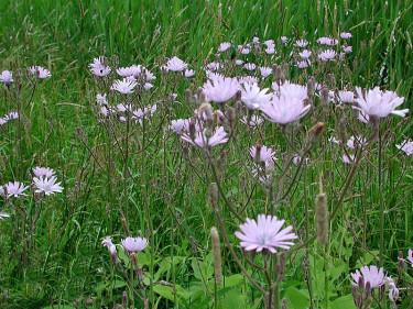 **Parksallat**, _Cicerbita macrophylla_