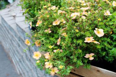 Tok är en bra buske för torra lägen // Foto: Anna Theorin