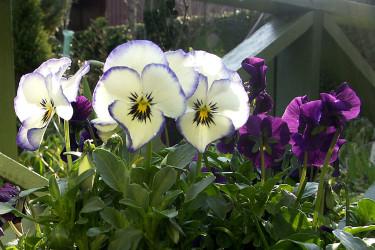 Vårglada violer. Foto: Sylvia Svensson