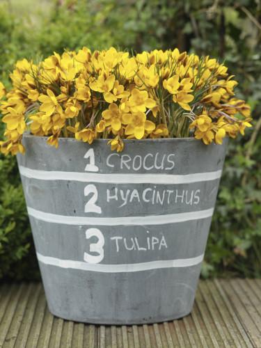 Lasange-plantering första blomningen.