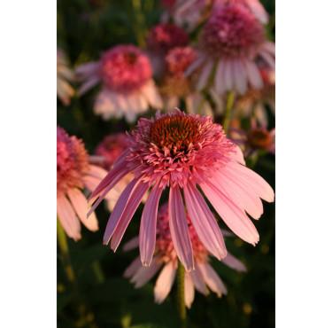Rosa solhatt, _Echinacea purpurea_, 'Pink Sorbet' har en härlig färg! Foto: Rickard Nordström, Perennagruppen