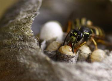 Flitig som en myra är denna geting! Veckans bild av Laila Andrell.