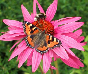 Nässelfjäril och humla söker nektar. Foto: Sylvia Svensson