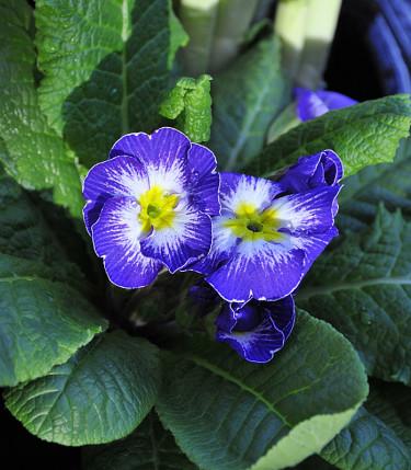Primula vulgaris 'Elcora Blue'. Foto: Sylvia Svensson