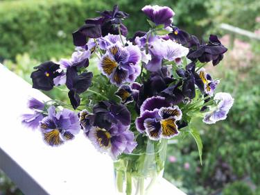 Viola 'Cats' och 'Black Pansy' till mor!