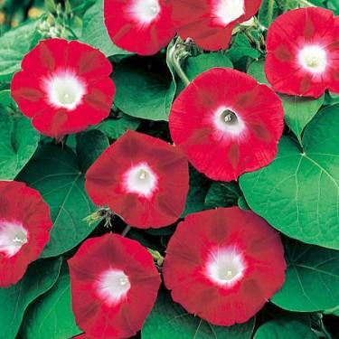 Blomman för dagen, Ipomoea purpurea 'Crimson Rambler'