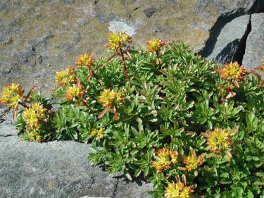 Smaragdfetbladet, _Phedimus floriferus_, glimmar till i stenpartiet. Foto: Sylvia Svensson