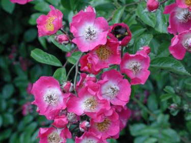 Krypros, _Rosa wichuraiana_, 'Maria Liesa' blommar i juli-augusti.Foto: Sylvia Svensson