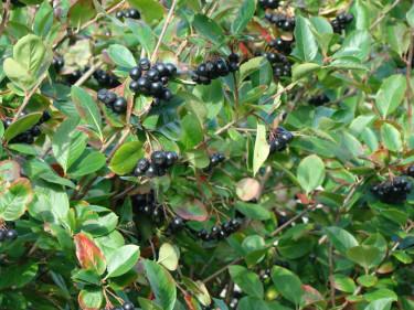Bladen är friskt gröna och blänkande och bärmängden ofta riklig.