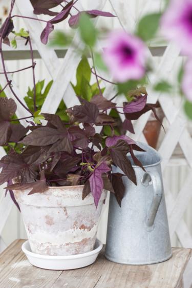 Batat, _Ipomoea batatas_. Foto: Blomsterfrämjandet/Anna Skoog