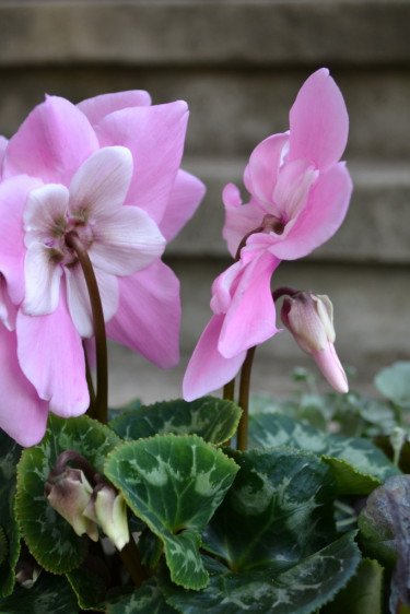 _Cyclamen persicum_ 'Pink Fleur en Vogue´ Foto: Blomsterfrämjandet/Minna Mercke Schmidt