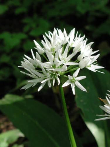 Ramslöken blommar i maj-juni med vackert stjärnformade blommor.