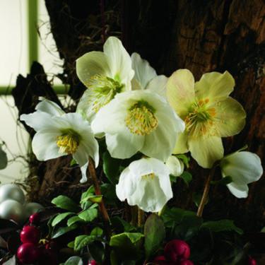 När julrosen plötsligt börjar blomma i rabatten mitt i vintern känns det nästan overkligt. Men icke desto mindre vackert!  Foto: Blomsterfrämjandet/Syngenta