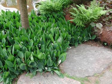 Spara dina iskonvaljer och plantera ut till våren! Foto: Sylvia Svensson