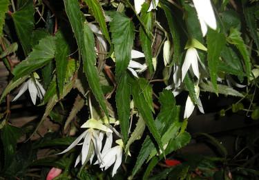 Boliviabegonia, _Begonia boliviensis_, 'White'. Foto: Sylvia Svensson
