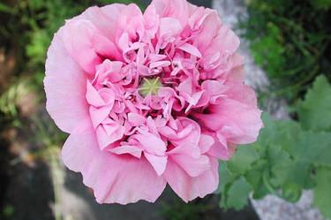 Papaver paeoniflora 'Rose'. Foto: Sylvia Svensson