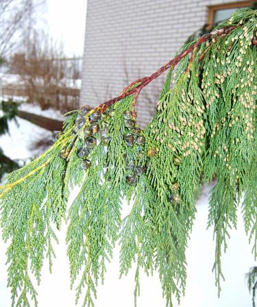 Nutkacypress, _Chamaecyparis nootkatensis_, 'Pendula' i närbild med kottar. Foto: Sylvia Svensson